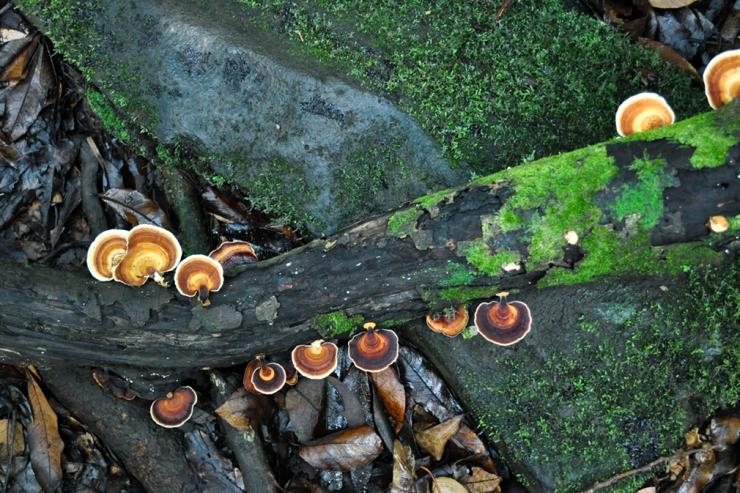 Bracket fungi growing on a fallen tree branch