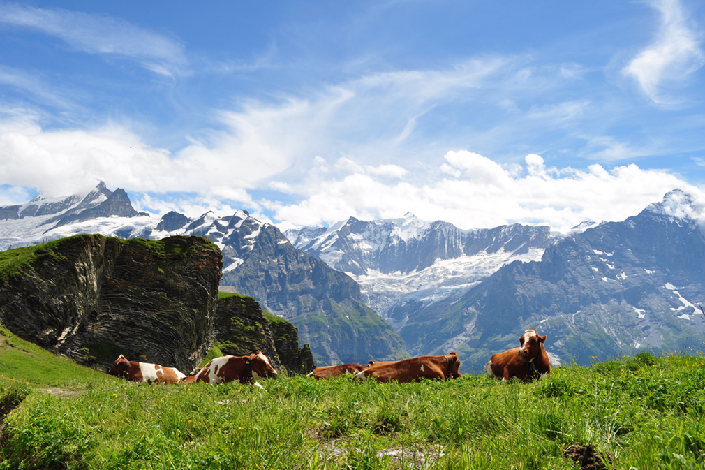 Cows resting on a meadow against a backdrop of snow-capped Alps