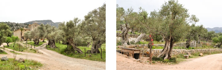 An empty stone farmhouse behind a grove of olive trees