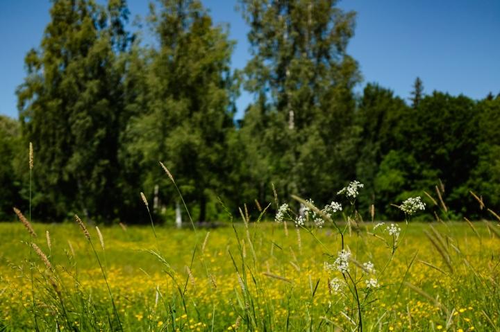 Hemlock in a field of golden wildflowers