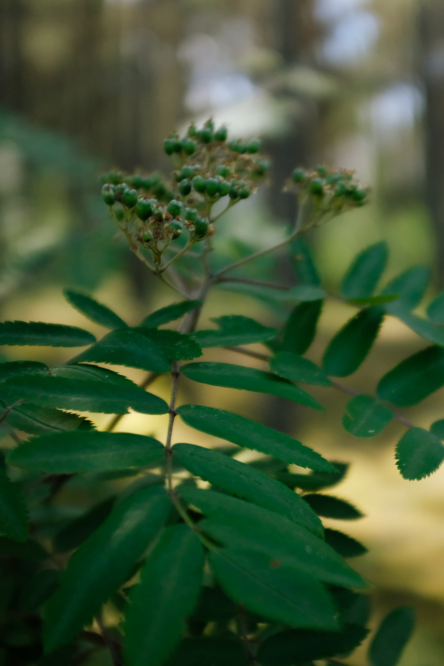 Young rowan plant
