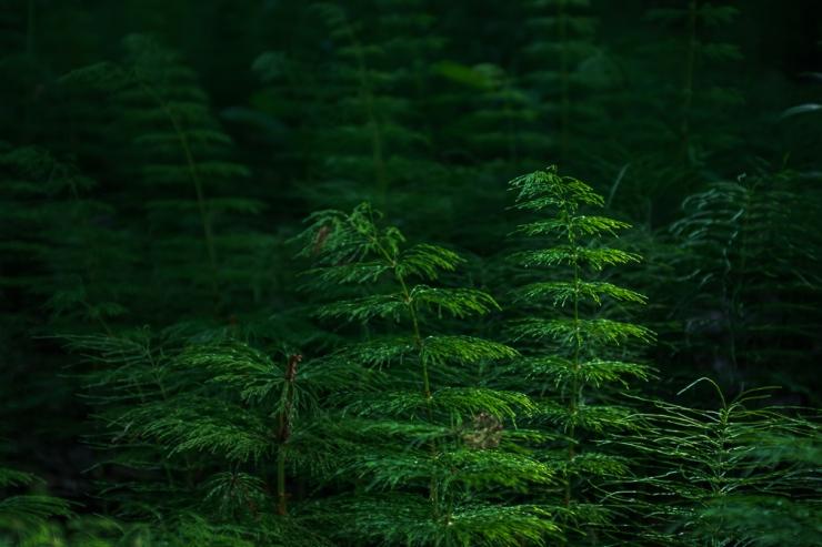 Woodland horsetail