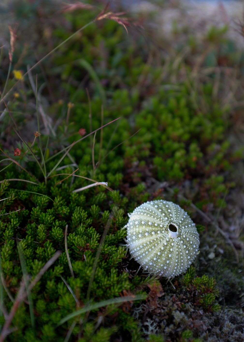 Sea urchin shell on a crowberry bush
