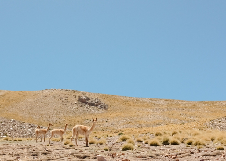 Wild vicuñas on the highlands of northwestern Argentina