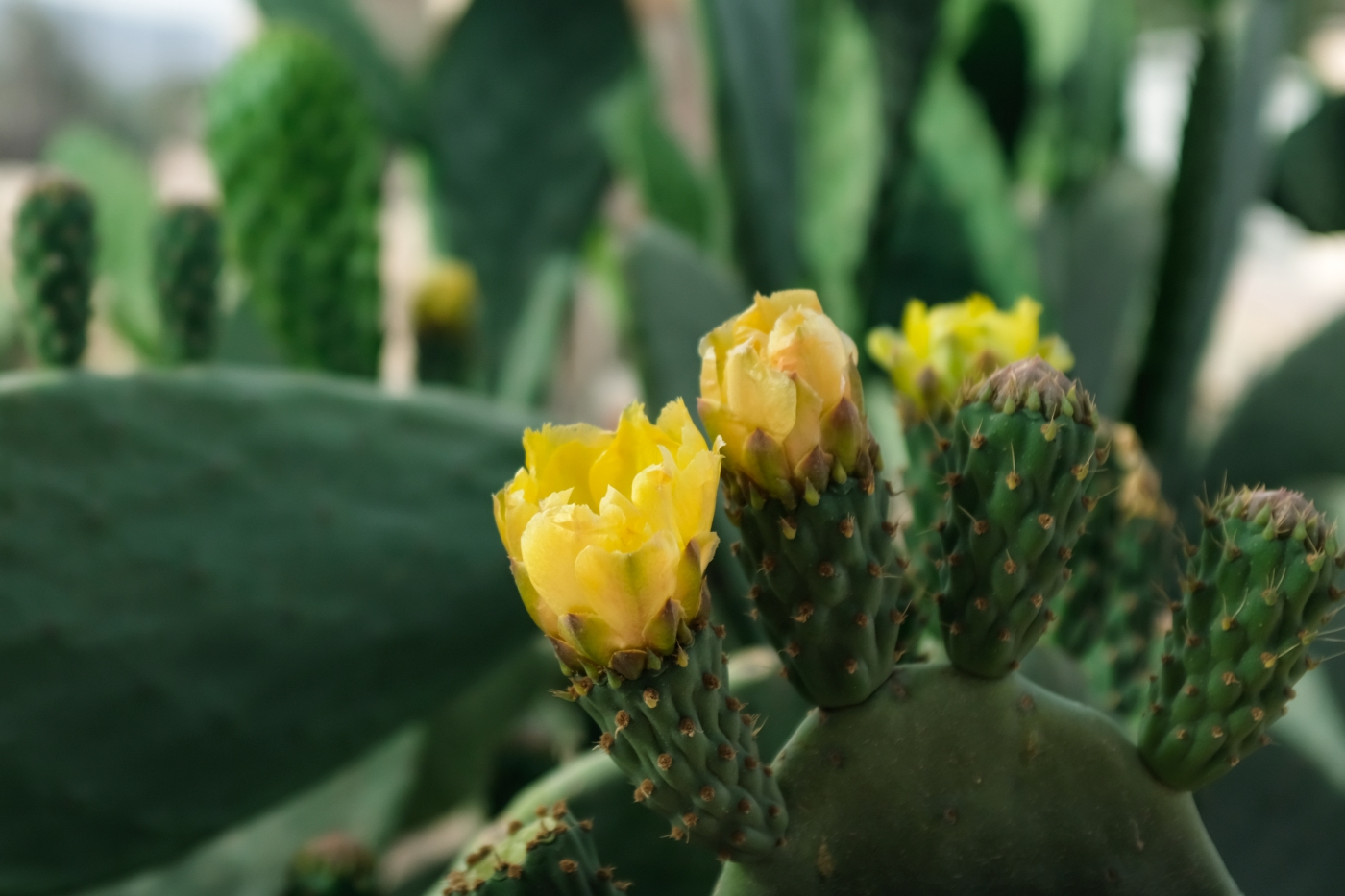 Closeup of a cactus in bloom with yellow flowers
