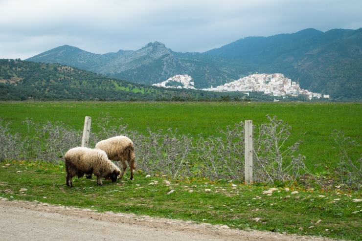 Sheep grazing by the side of the road in the Atlas Mountains