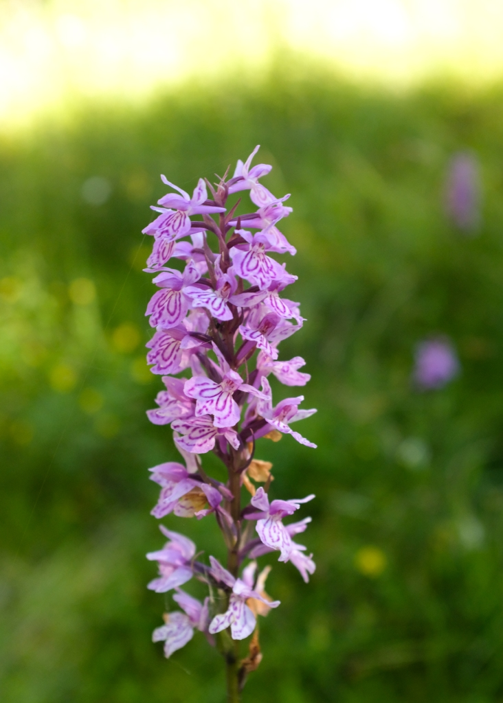 Close-up of a spotted orchid
