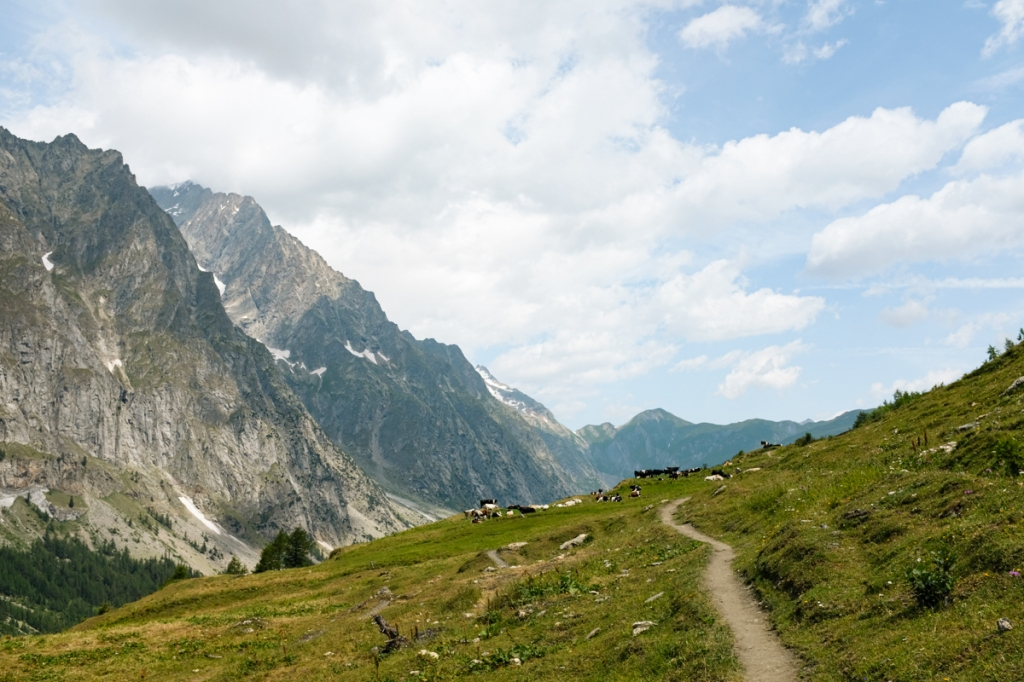 Cows resting on a mountain hiking path